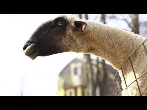 Webtier 2.0. Das Schaf