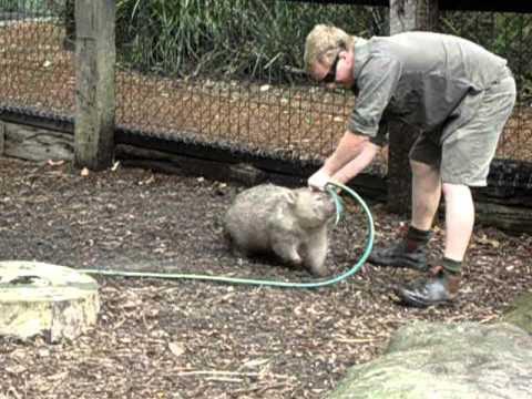 Ein liebeshungriger Wombat