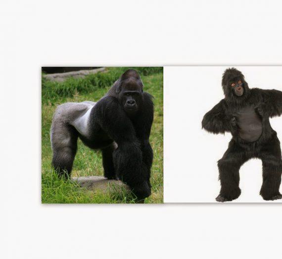 Schlagzeile des Tages: Tierarzt streckt Mann in Gorilla-Kostüm nieder