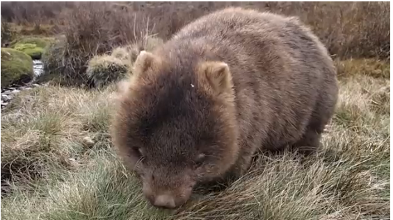 Wombats made my day