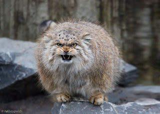 Katze expressiv: die Manul-Katze