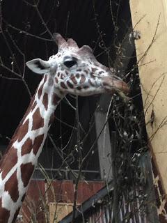 Giraffe im Kölner Zoo