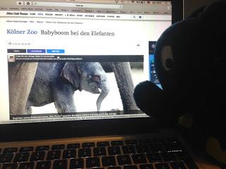 ksta Beitrag Kölner Zoo Babyboom bei den Elefanten. Im Vordergrund: Der eigene Stoffelefant