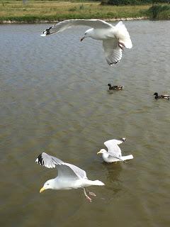 Die Möwen fressen den Enten alle zugeworfenen Brötchen weg