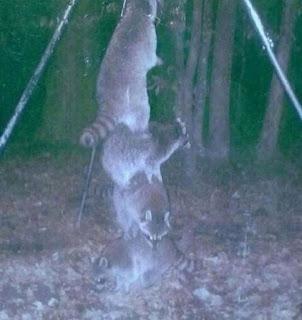 Waschbären klettern aufeinander
