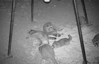 Waschbären liegen rum