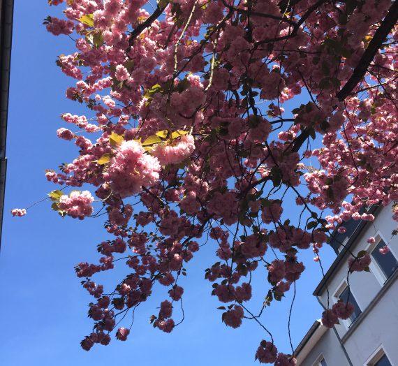 Ausflug mit Kindern: Die Kirschblüte in der Bonner Altstadt
