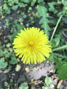 Löwenzahn Blume