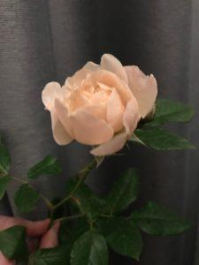 Rose vom Mann